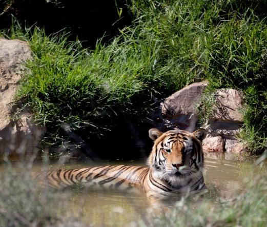 bengals love water