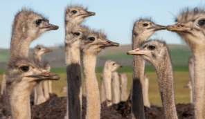 Ostriches SC 54