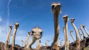 Ostriches SC 84
