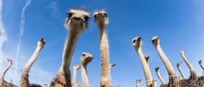 Ostriches SC 90
