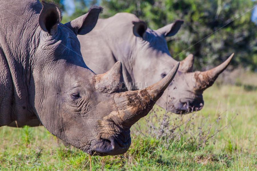 Schotia's Rhinos