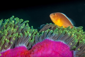 A Clownfish dances on its host anemone.