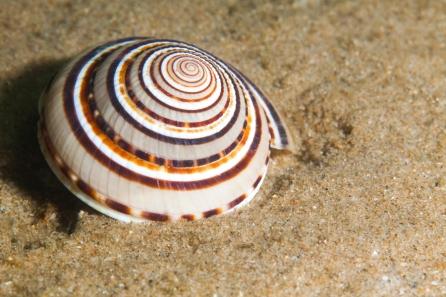 A turban shell.