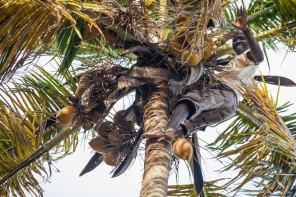 Collecting coconuts from up high is all in a days work in Moz.