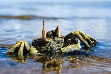 Horn Eyed Crab at the estuary. Credit: Kyra Kalageorgi