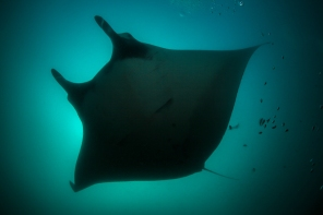 Silhouette of a Mantaray.