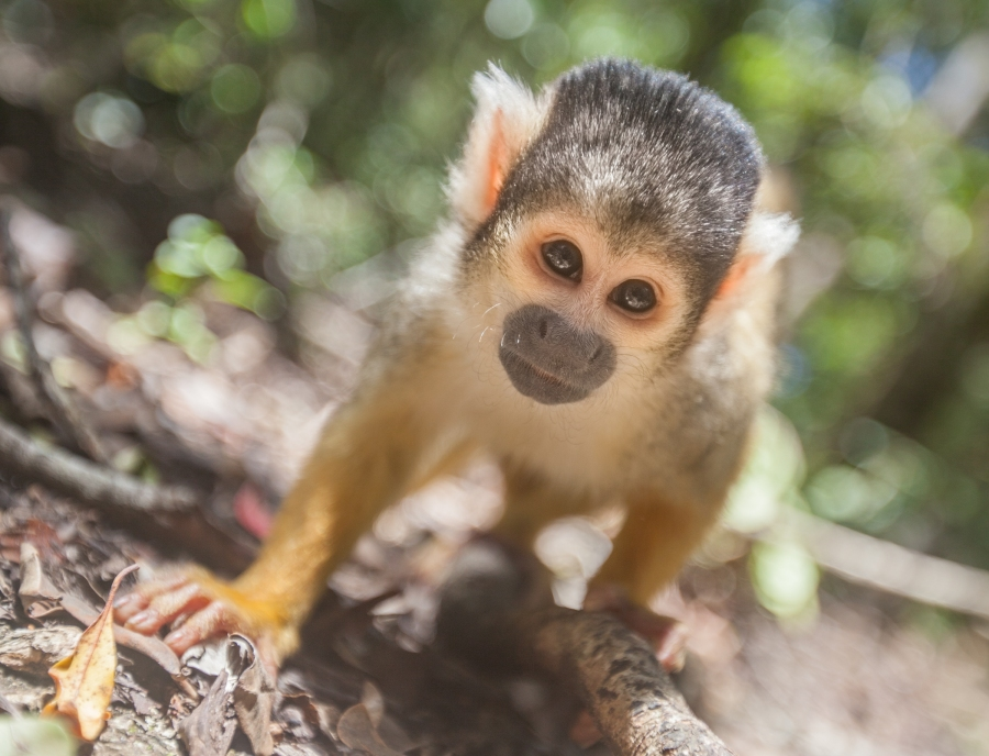 a squirrel monkey eyes out my lens to see if there is food inside... I wish it had stayed longer