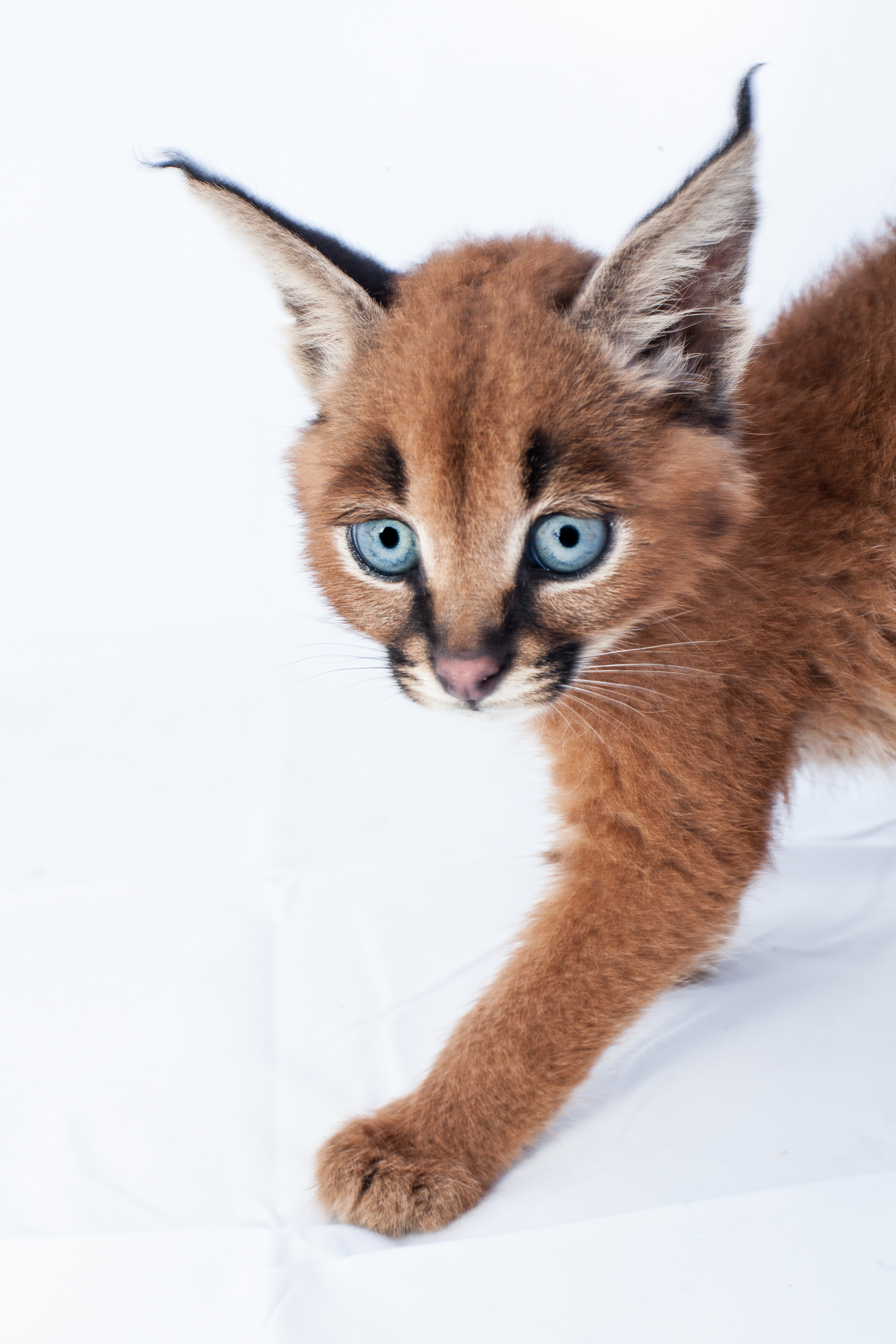 Caracal cat kittens images.
