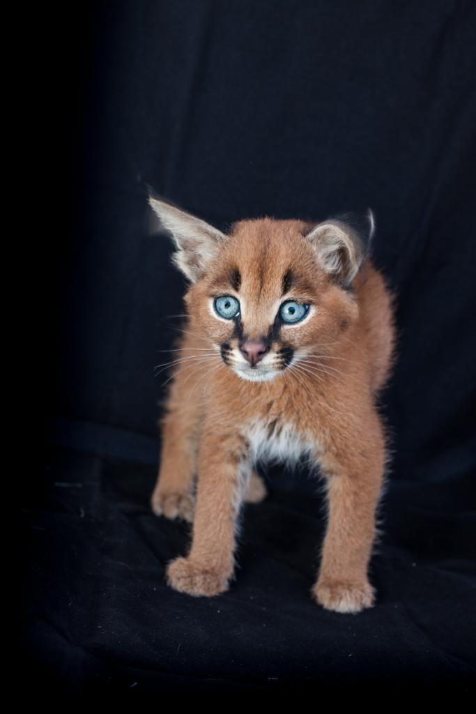 caracal kittens 9 weeks-10