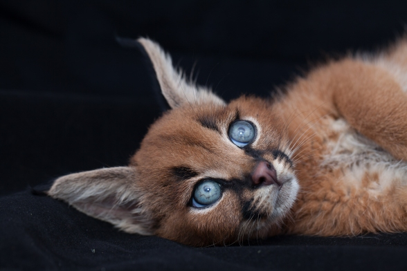 caracal kittens 9 weeks-11