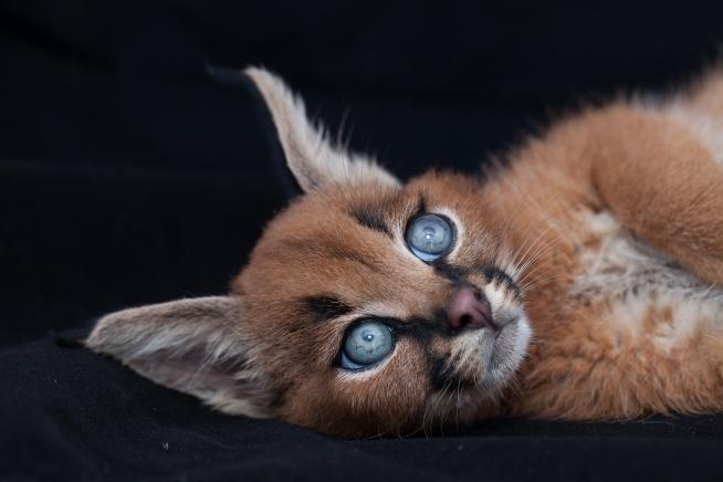 caracal kittens 9 weeks-11