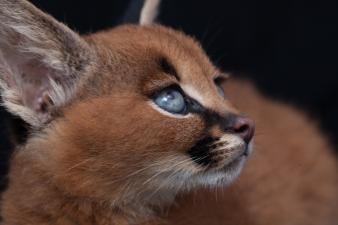caracal kittens 9 weeks-12