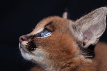 caracal kittens 9 weeks-13