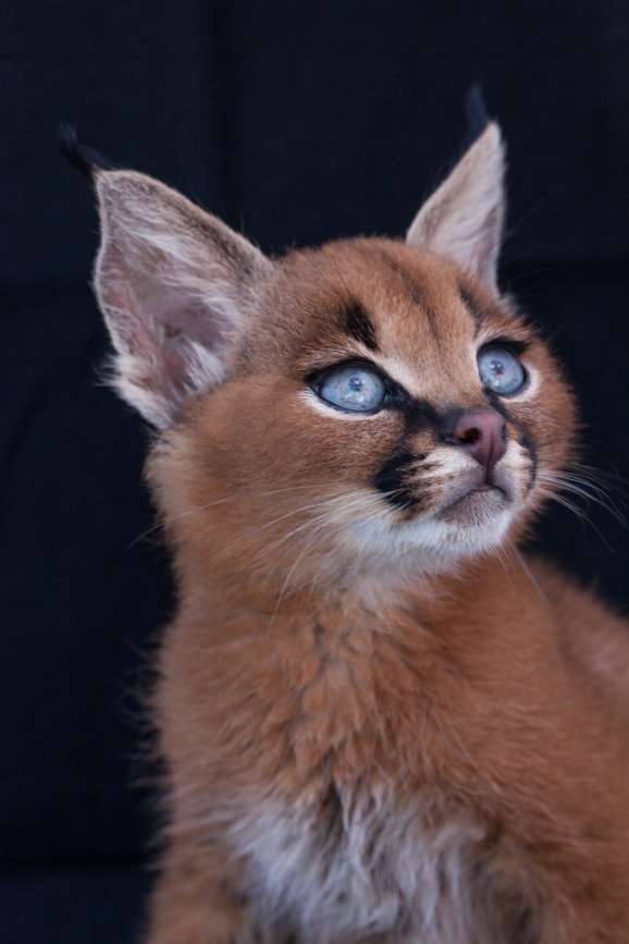 caracal kittens 9 weeks-14