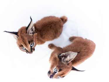 caracal kittens 9 weeks-2