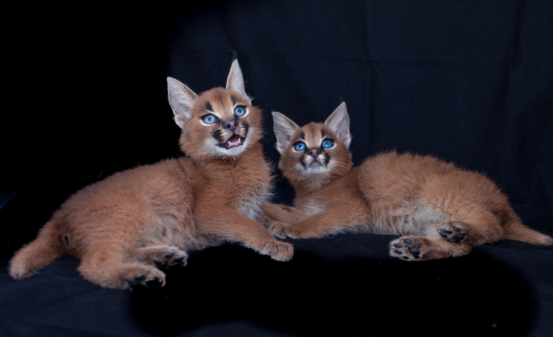 Caracal Cat Kittens