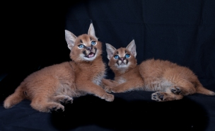 caracal kittens 9 weeks-7