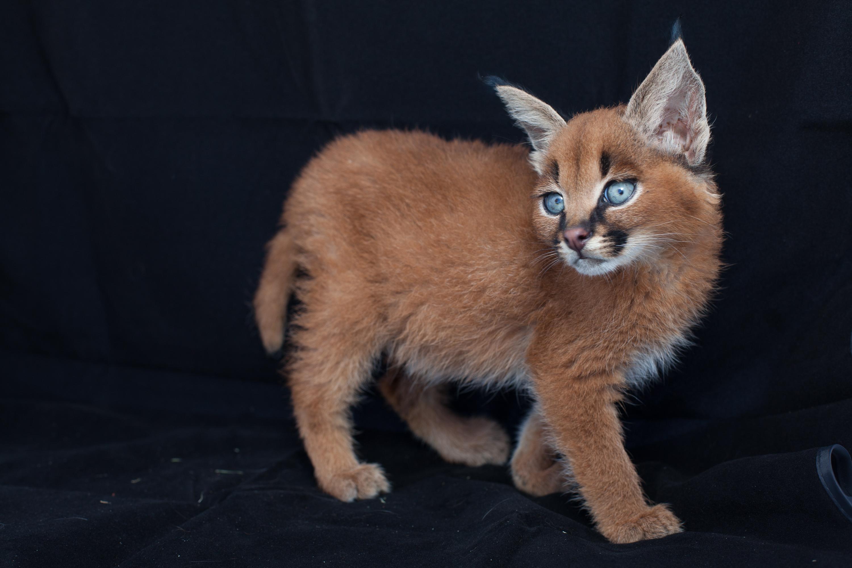 caracal kittens 9 weeks-9 | Fiona Ayerst's Blog