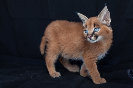 caracal kittens 9 weeks-9