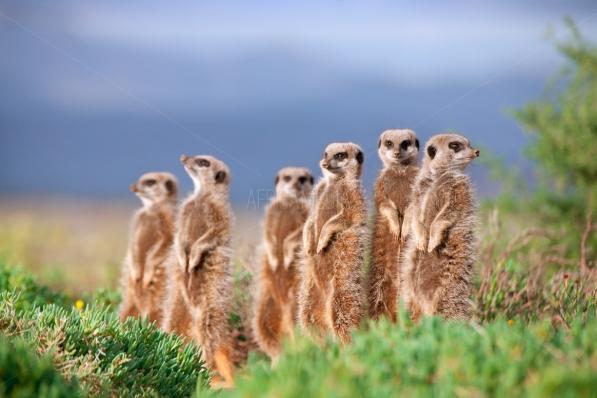 Meerkats-9557