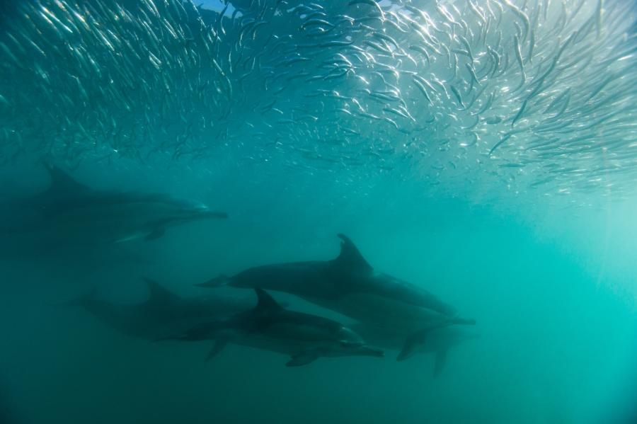 a pod of common dolphins swim through a cloud of silver sardines