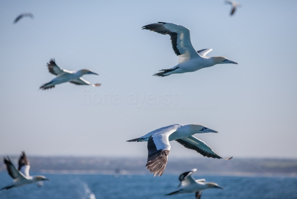 Cape gannets flying