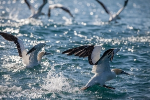 gannets taking off with full bellies