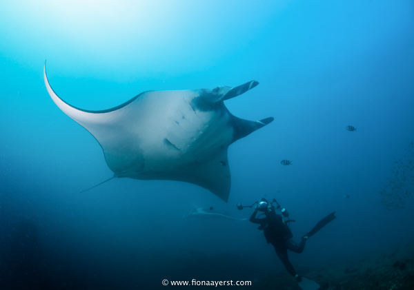 an underwater photographer shoots a giant manta ray as it flies past