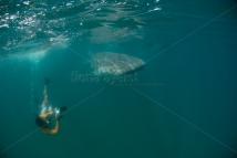 Carlos Macuacua photographing a whale shark
