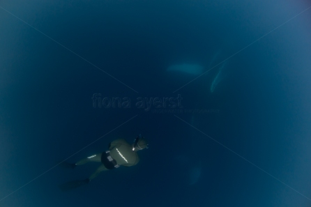 Dylan freediving with a humpback swimming underneath him